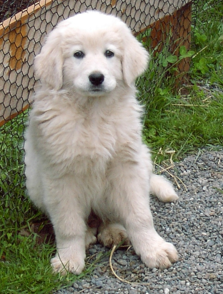 The 25+ best Maremma dog ideas on Pinterest | Akbash dog