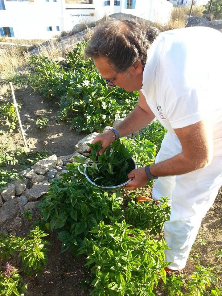 Collecting Basilico from the garden, Marechiaro Pizza Mykonos