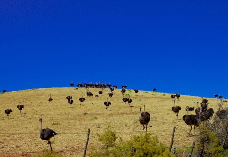 Western Cape otsriches