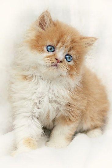 .Orange and white kitten with bright blue eyes kitties