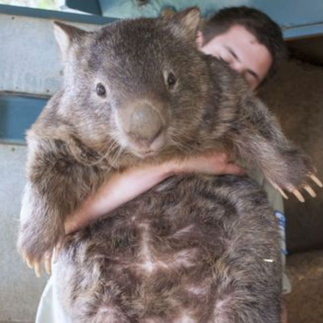 Patrick The Wombat.         Wombats are something of a scourge in Australia, where they are best known for digging the foundations out from people's homes and destroying any car that hits them on that country's dark, lonely highways. Patrick, however, who hangs out at Ballarat Wildlife Park, won a lot of hearts on Reddit today as the oldest wombat living in captivity.