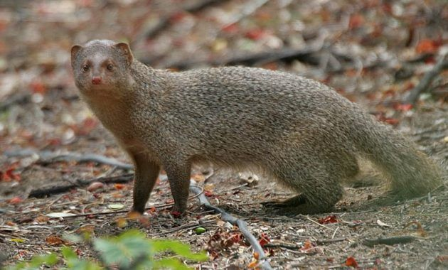 11 Fascinating Animals That Start With The Letter U Mongoose