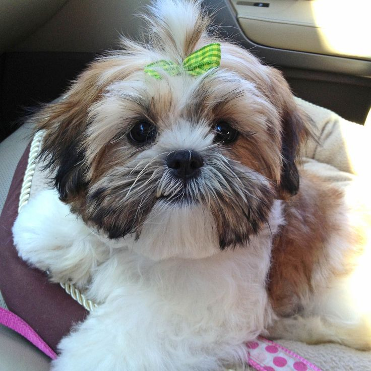 Shih Tzus First Haircut   First beauty visit. Teddy Bear cut.