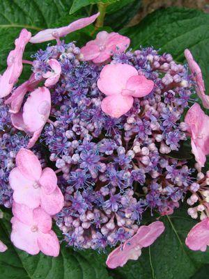 Hydrangea mac. 'Twist-N-Shout' Twist-N-Shout Endless Summer Hydrangea from Prides Corner Farms