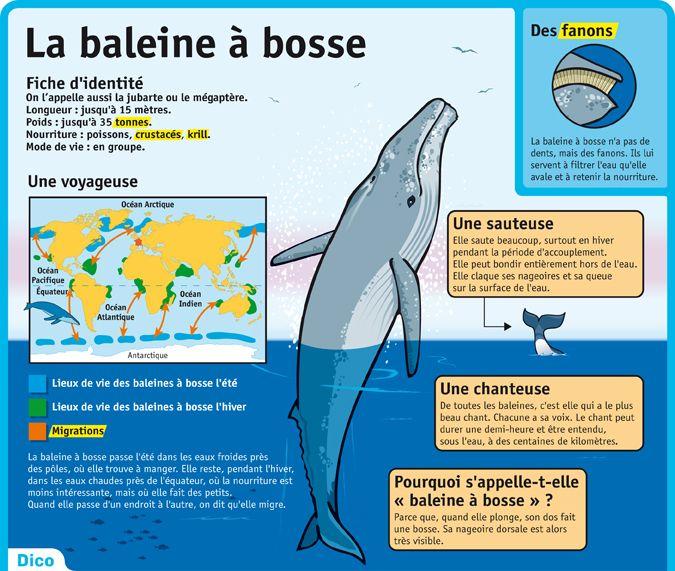 Fiche exposés : La baleine à bosse - Le Petit Quotidien                                                                                                                                                                                 Plus