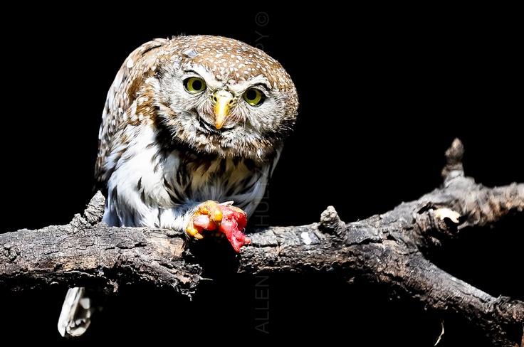 Pearl spotted owl | ALLEN E SCHULTZ PHOTOGRAPHY