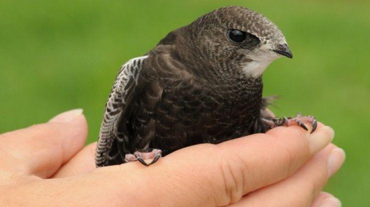 """Bahar ve yaz aylarında yerde bulup """"Aaa uçamıyor ve yürüyemiyor, yavru mu bu kuş? Nasıl besleriz?"""" diye sorduğunuz Ebabil Kuşları (Apus apus), ülkemize bahar aylarında gelip, yazın üreyip, sonbaharda da göç eden bir kuş türüdür. Detaylar ajanimo.com'da.. #ajanimo #ajanbrian #hayvan #animal"""