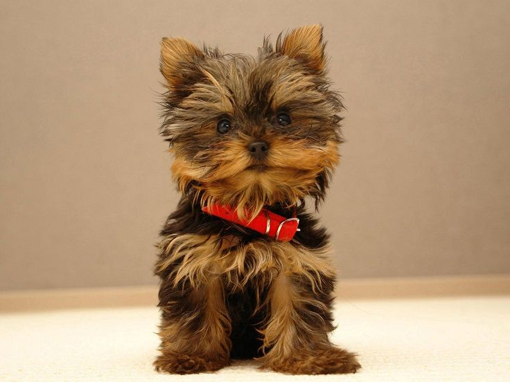Great Cutest Brown Adorable Dog - 38f9bbe66617934b3faf48e7af6b4467--yorkie-puppy-mini-yorkie  Pictures_124423  .jpg