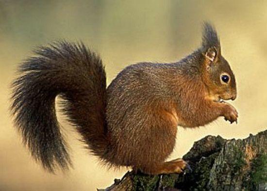 Esquilo vermelho (Sciurus vulgaris)