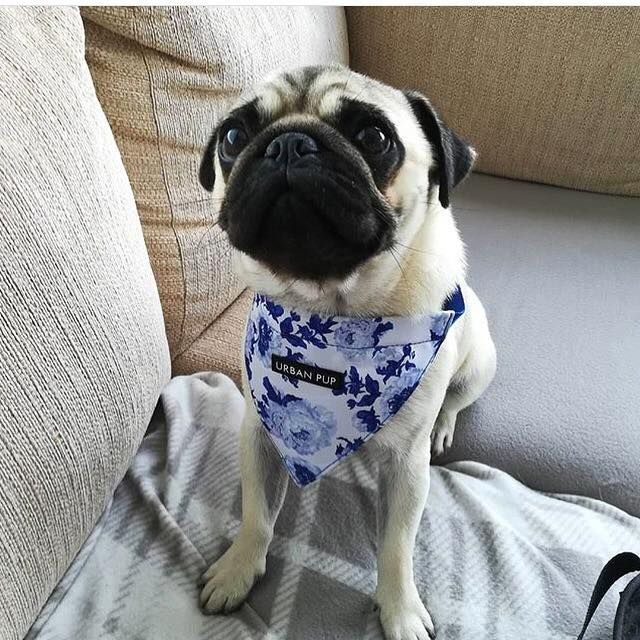 Urban Pup Blue Floral Clip On Bandana At Www Ilovepugs Co Uk Post
