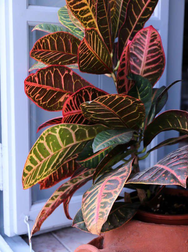 10 Huge Houseplants That Make A Statement Plants With Colorful Leaves Best Indoor Plants Plant Decor Indoor