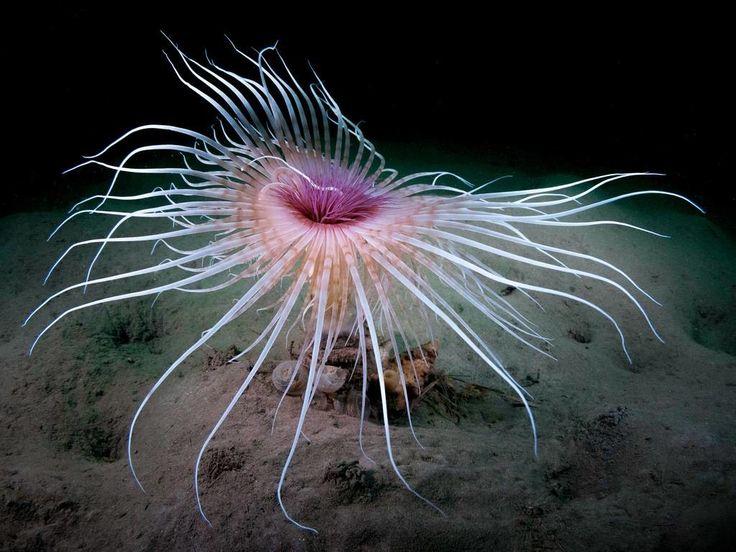 Espectaculares fotografías submarinas en los 'British Society of Underwater Photographers Awards 2014'. Kirsty Andrews, mención de honor por esta impresionante anémona.