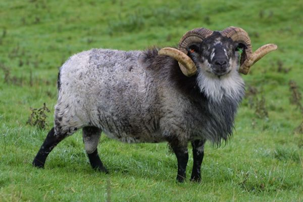 Boreray  - Rare Britannic Sheep breed