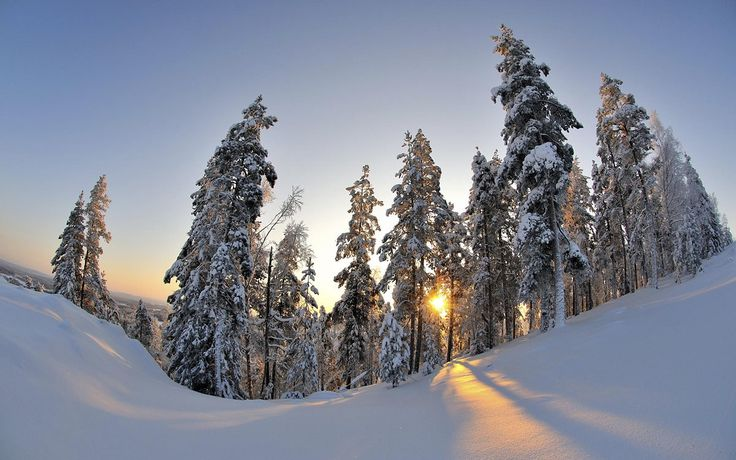 cool snowy firs in the sunset light
