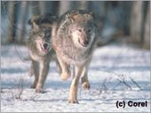 Urge your member of Congress to stand strong for wolves! - Defenders of Wildlife Donate Now
