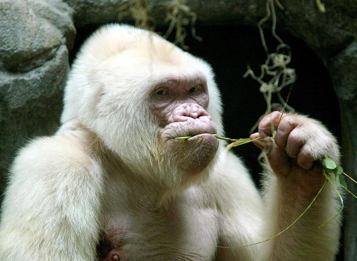 Photo dated 14 September 2003 shows 40-year-old Copo de Niebe (Snowflake), the only albino gorilla in the Barcelona zoo, Spain. Zoo specialists said that the gorilla was suffering from leather cancer and that his life expectancy is of about three months. (Photo by Cesar Rangel, AFP/Getty Images) via @AOL_Lifestyle Read more: http://www.aol.com/article/2015/06/01/rare-white-faced-fawn-finds-home-after-being-abandoned-by-mother/21189844/?a_dgi=aolshare_pinterest#fullscreen