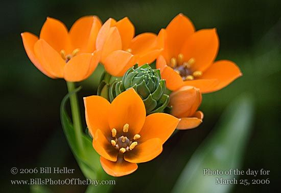 orange star flower. Just bought some of these!!
