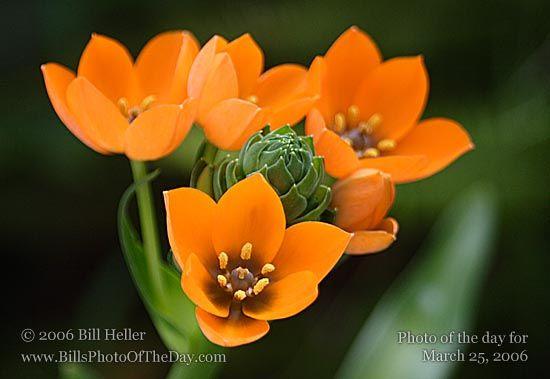 orange star flower. photo by Bill Heller