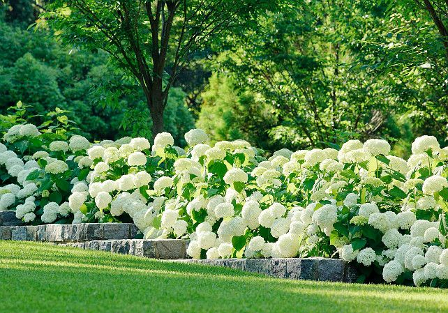 Garden with retaining stone wall and Annabelle Hydrangeas. #Garden #AnnabelleHydrangeas #RetainingWall Katia Goffin Gardens.