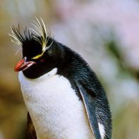Vote for Playcentre's nominated bird 'Southern Rockhopper Penquin' http://www.birdoftheyear.org.nz/ votes close next week.  Its population has declined by 30% in the past 30 years so it's well worth voting for!