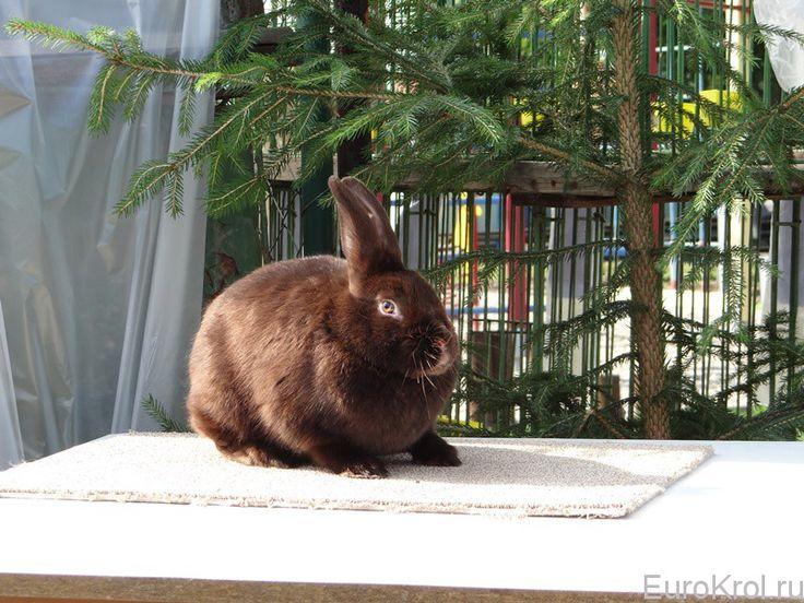 Сатиновые кролики