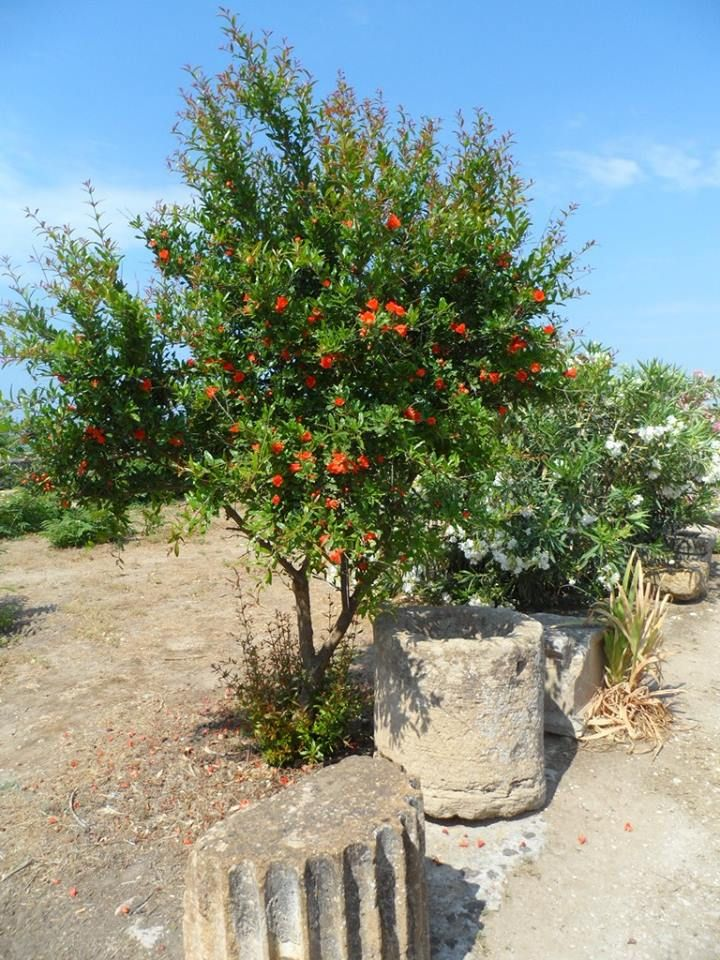 Melograno - Pomegranate Tree.  Parco Geologico di Selinunte, Agrigento, Sicily.