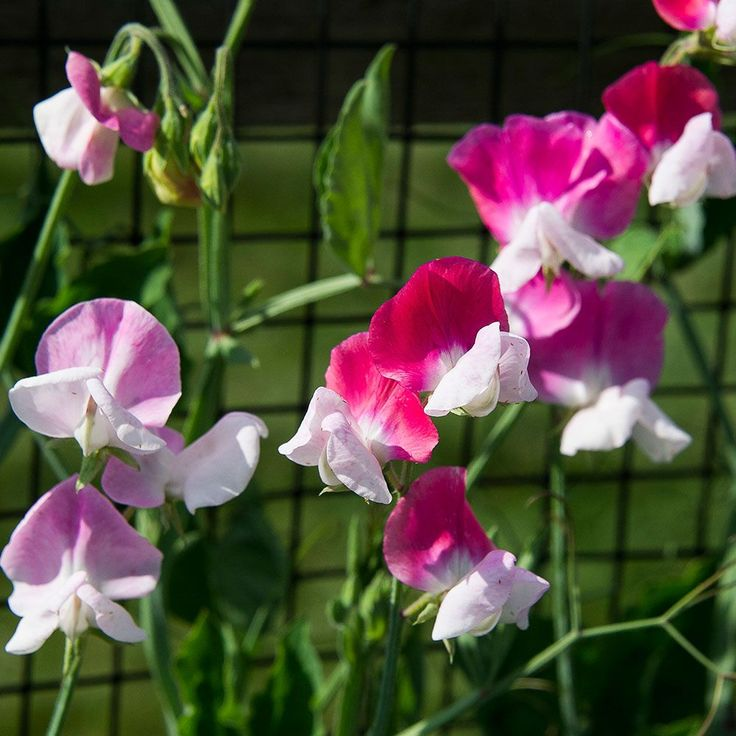 Perfume the garden with our collection of 3 exquisite Sweet Pea varieties. The fluted and delicately ruffled blossoms of these scented beauties decorate graceful vines, their vivid and soft hues creating a classic garden display. Keep plants blooming for weeks by picking the flowers for bouquets and enjoy their intoxicating scent indoors. We offer 1 of each variety listed below, 3 plants total.  Sweet Pea 'Cheri Amour'   Sweet Pea 'Cupani's Original'  Sweet Pea Jewels of A...