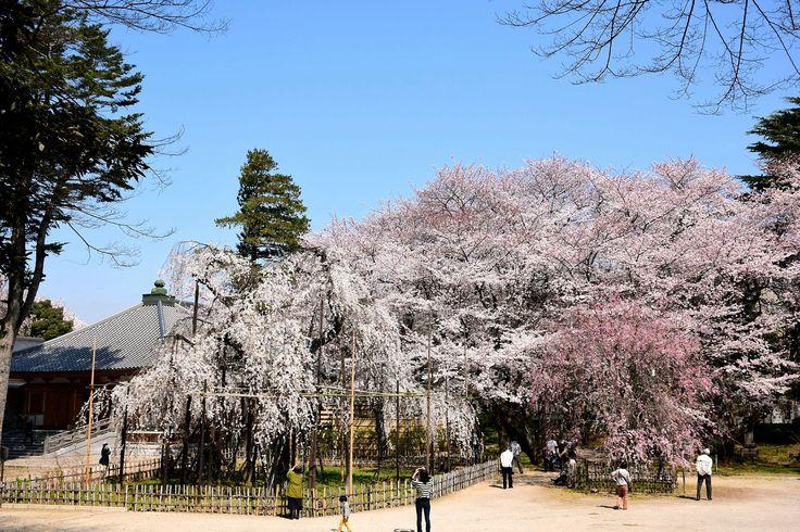 市川市・真間山弘法寺の伏姫桜  Fusehimezakura in Guhouji Temple #Ichikawa-City #Japan #CherryBlossoms #シダレザクラ