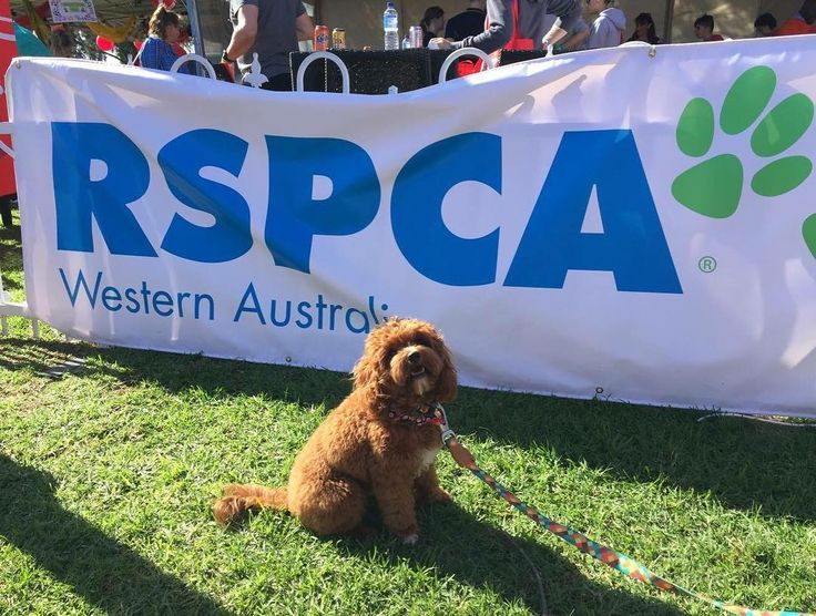 I had a great time at my first million paws walk! I did the whole 5km too (well except for the bits that mum and dad carried me because I was getting tired) I can't wait to do it again next year! @rspca_wa #millionpawswalk2016 #rspcawa #dapperdawg #cavoodlesofaustralia #cavoodlesofperth #cavoodlepuppy #cavoodlepuppy #oodlesofperth #oodlesofinstagram #cavoodlesofinstagram #oodlesofinstagram #pawfectpuppies #pawfectpuppy #pawpack #puppy #cavoodle #dogsofaustralia #dogsofperth #dogsofinstagram…