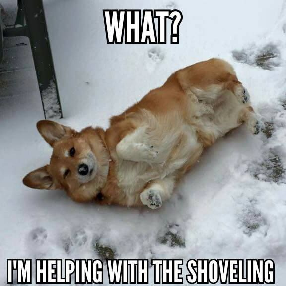 Miss Marty B Enjoying The Snow Corgis Love To Roll In The Snow Z Corgipictures Funny Dog Memes Dog Memes Corgi