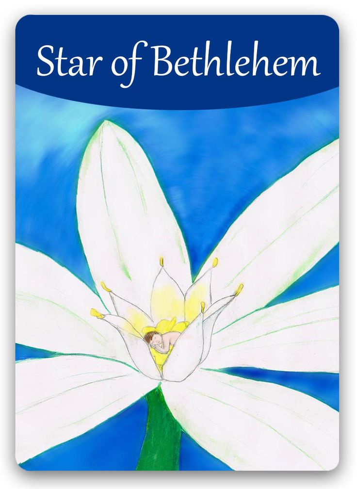 Bach Flower: Star of Bethlehem