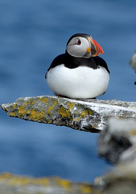 Hopefully I'll get to see a real live puffin on Rathlin Island this year!