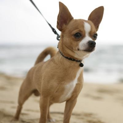 An alert Chihuahua. Did you know that #Chihuahuas have two head shapes? They can have apple-heads (like this guy) or deer-heads (which are more elongated). #dog