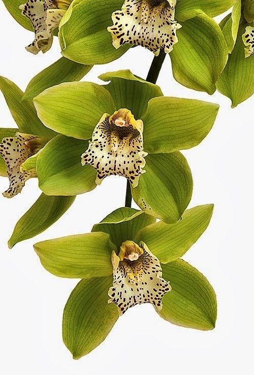 Orchid 'Green Dragon' Cymbidium Happy Days
