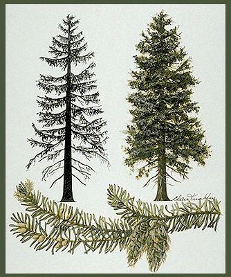 I want a tattoo of a douglas fir tree.