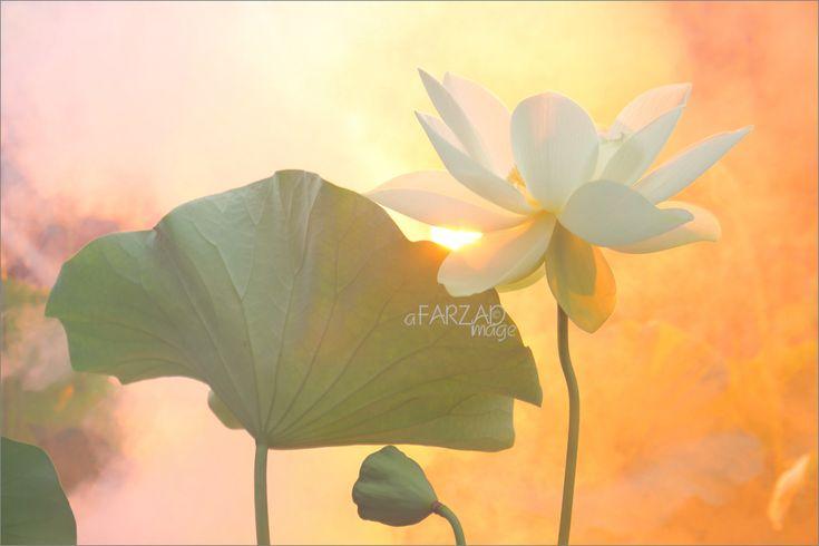 https://flic.kr/p/q82Req | Lotus Flower Paintings / images using Akvis Oil Paint Filter | Lotus Flower - Akvis Oil Paint Filter - akvis.com/en/oilpaint/index.php DD0A9716-ls5-1000 Lotus Flower Paintings / images using Akvis Oil Paint Filter
