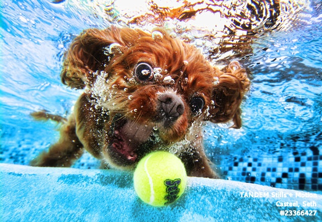 Underwater monster?  Nope. It's a Cavalier King Charles Spaniel.: Funny Dogs, Water Sports, Underwater Dogs, Diving Dogs, Photography Stuff, Big Eye, Seth Casteel, I Love Dogs, Animal