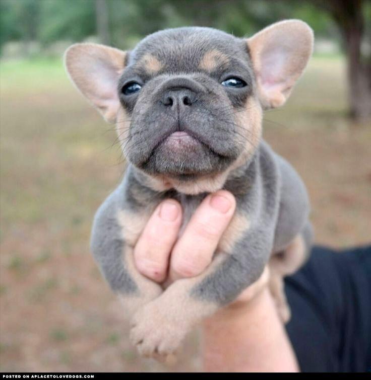 Blue Fawn French Bulldog.