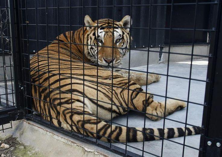 Un circo español dona siete tigres y un león al mayor centro de rescate de animales exóticos del sur de Europa, que se sitúa en Villena (Alicante)