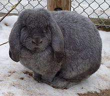 Vous êtes l'heureux maître d'un lapin bélier ou d'un lapin nain tête de lion ? Vous avez beaucoup de chance, car le lapin est un animal particulièrement affectueux et attachant. Toutefois pour son épanouissement, vous devez bien veiller à lui prodiguer les soins dont il a besoin. Suivez le guide.
