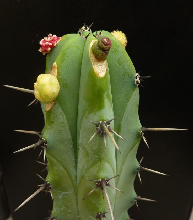 Mehrfachpfropfung * Multiply grafting * Cactus  collection Wilfried Stolz
