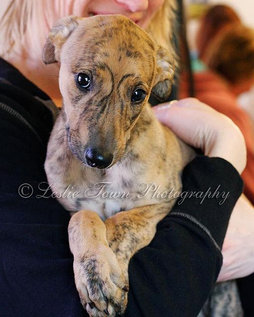 adorable greyhound puppy, beautiful brindle markings!