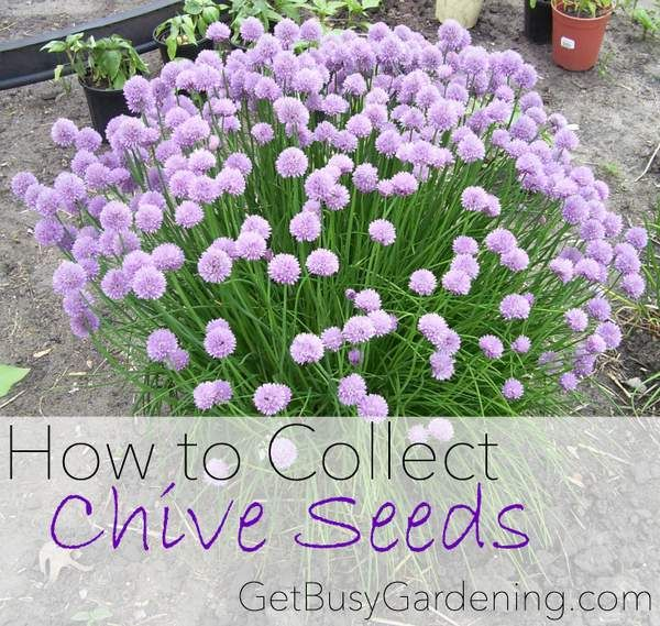 "Chives are delicious and gorgeous too, and it's super easy to collect the seeds to share with friends or to trade for other seeds. Here's how you can collect chive seeds from your garden...   Do you grow chives?""	http://getbusygardening.com/collect-chive-seeds/?utm_content=buffercfd20&utm_medium=social&utm_source=pinterest.com&utm_campaign=buffer	#herbgarden #getbusygardening"