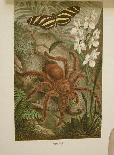 Migale.  s.d. (ma 1900 ca.). Storia natule - Etologia - Animali -  Insetti - Ragni - Stampa - Scienza -  -