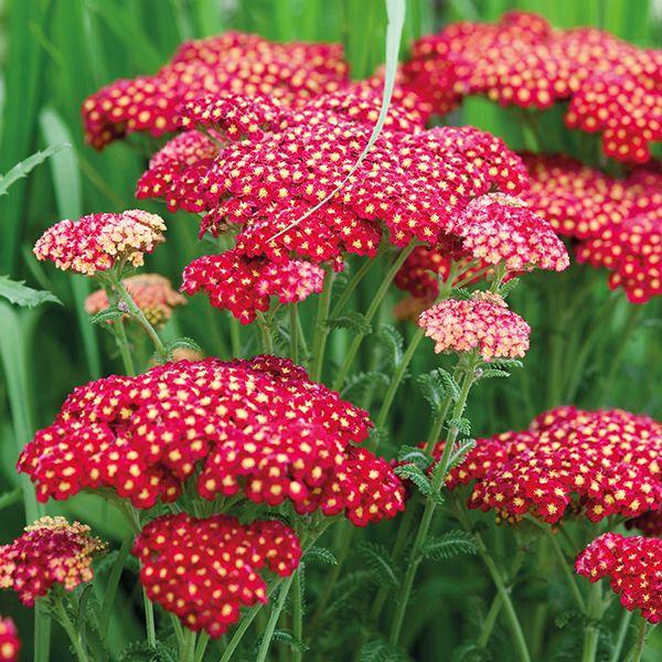 Achillea Millefolium - Cherry Queen