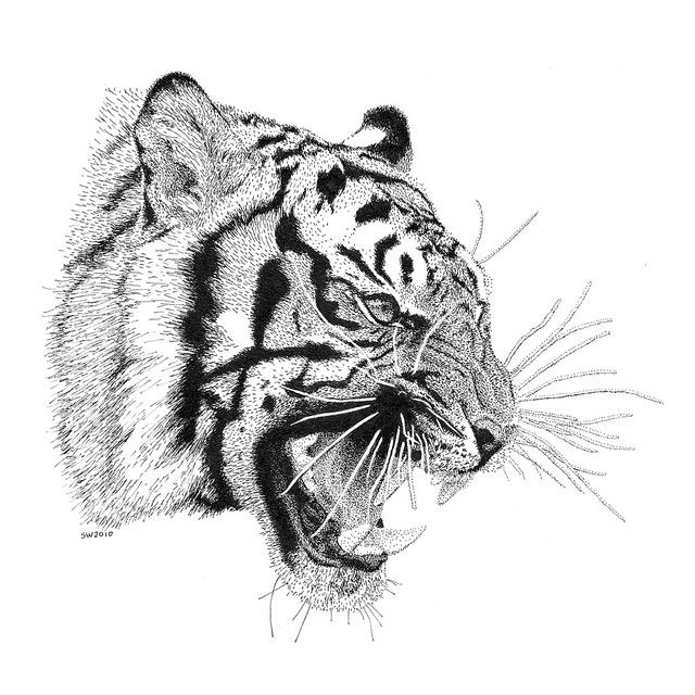 Tiger Pen and Ink Drawing