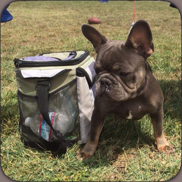 Great Gatsby The French Bulldog! Short, compact, Bully