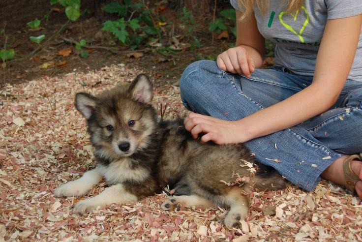 Tamaskan | American Tamaskans | Tamaskan Breeder | Tamaskan Puppies For Sale | Puppies