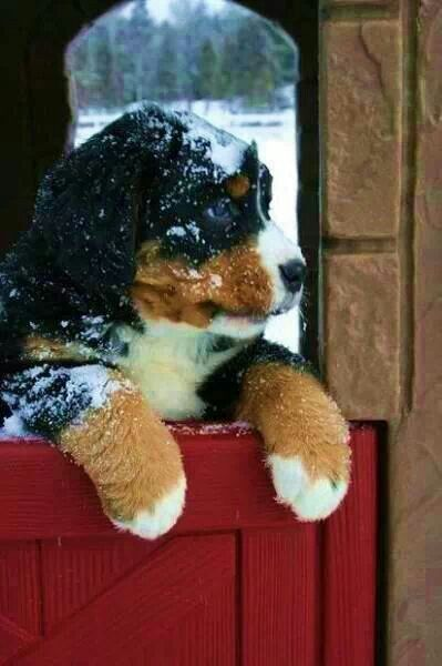 Burmese mountain dog- definitely getting one :3