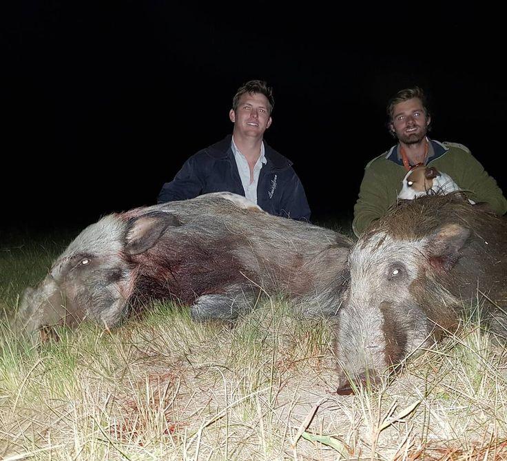 Always a good evening on the bait taking 2 boars! #mkomazihuntingsafaris #hunting #hunt #hunter #huntafrica #huntersspeak #yukon #pulsar #nightvision #bushpighunting #bushpigboar #bushpig #jagd #jakd #camo #chasse #caza #dsc #sci #kuiunation #kuiu #blind